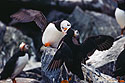 Puffins greet each other, Machias Seal Island 2004.  Scanned from slide.