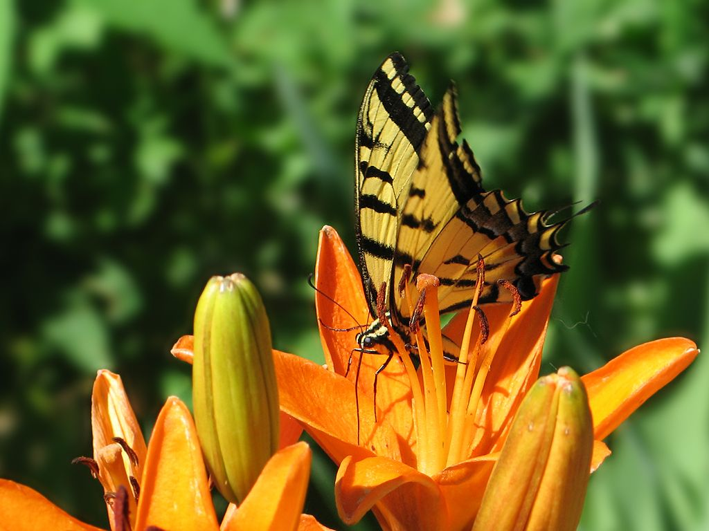 Butterfly on a lilly, Aurora, Colorado.  Click for next photo.