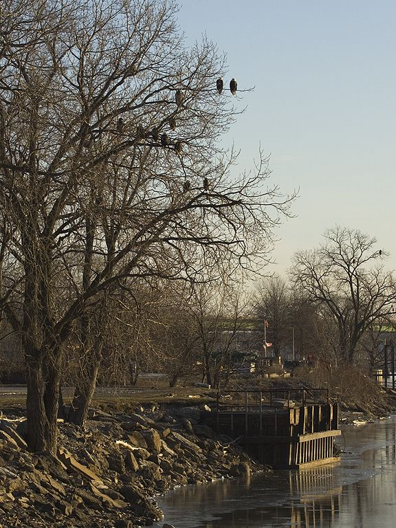 Twelve eagles share a tree in Keokuk, Iowa, 2005.  Click for next photo.