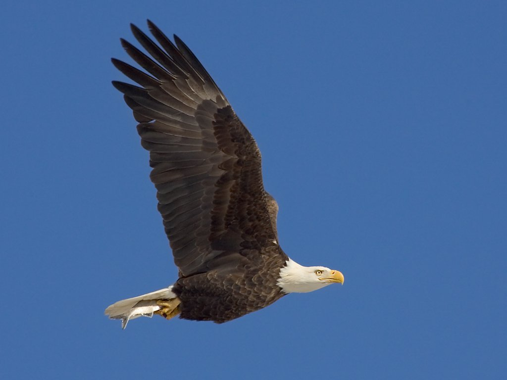 Bald Eagle along the Mississippi River, 2005.  Click for next photo.