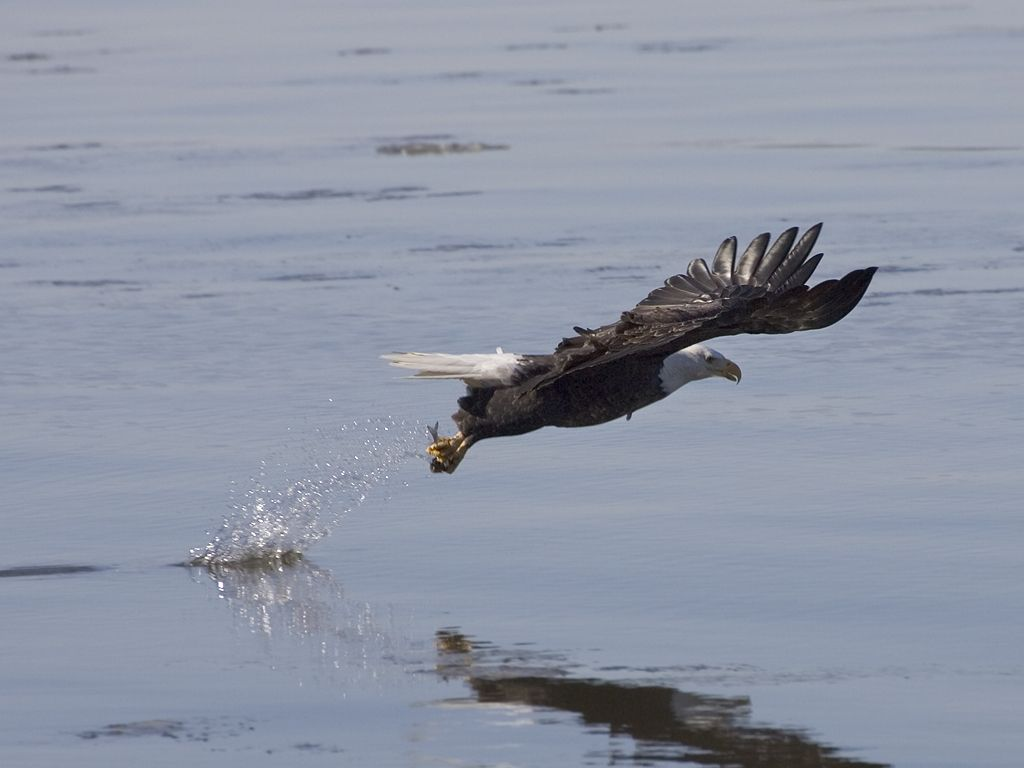 Bald Eagle fishing in the Mississippi River, 2005.  Click for next photo.