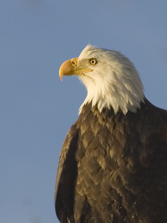 Crop of previous photo [1151], Bald Eagle along the Mississippi River, 2005.  Click for next photo.