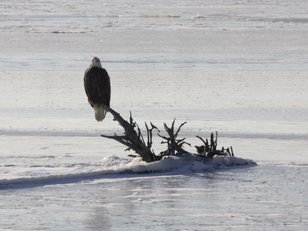 Bald Eagle on the frozen Mississippi River, 2005.  Click for next photo.