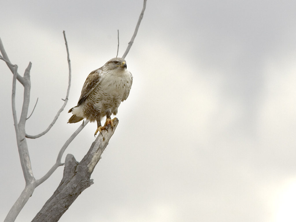 Rough-legged Hawk, Bosque del Apache, March 2005.  Click for next photo.