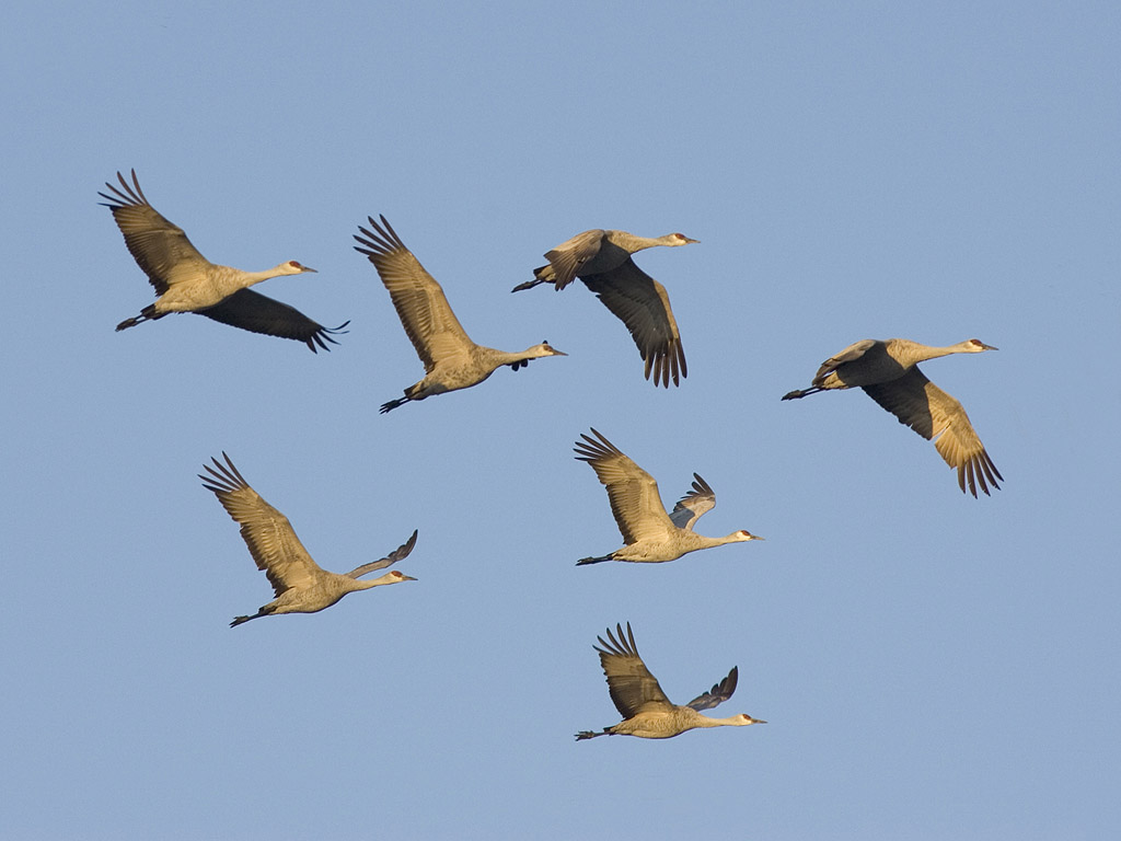 A formation of sandhill cranes, Bosque del Apache, March 2005.  Click for next photo.