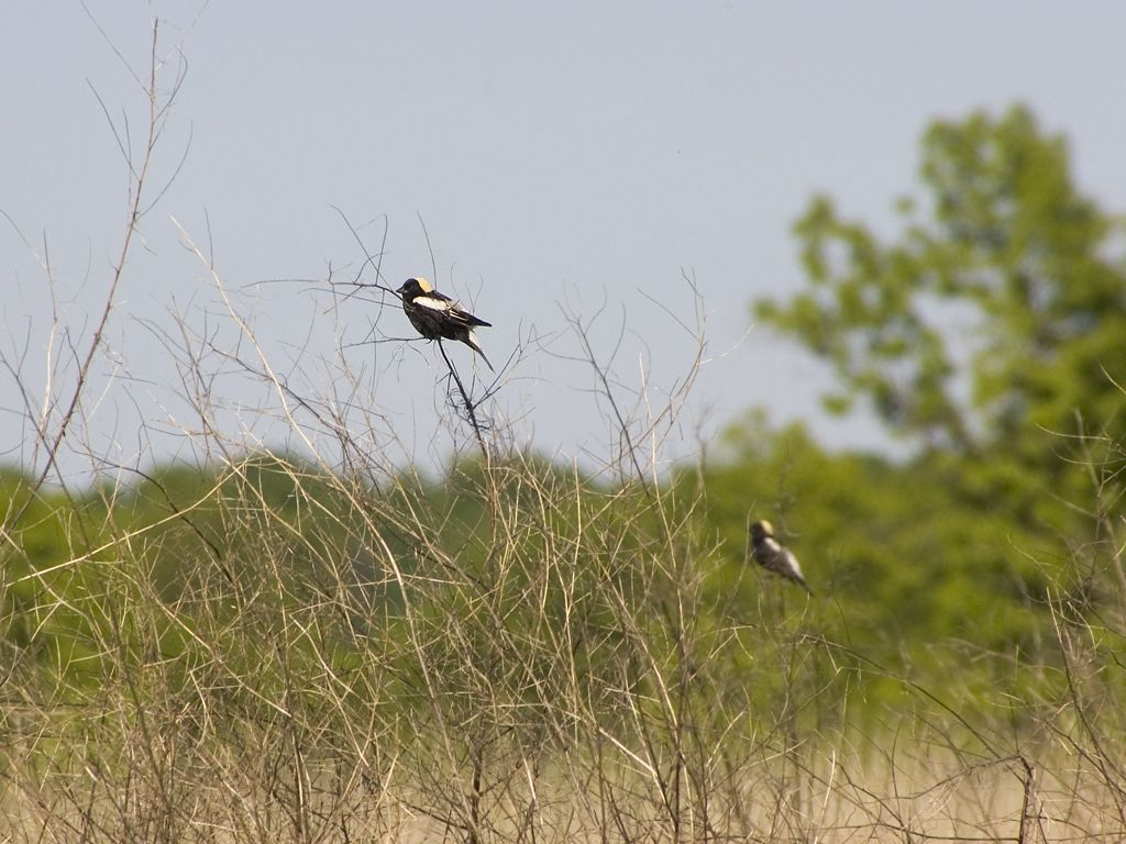 Bobolink, Horicon NWR, Wisconsin.  Click for next photo.