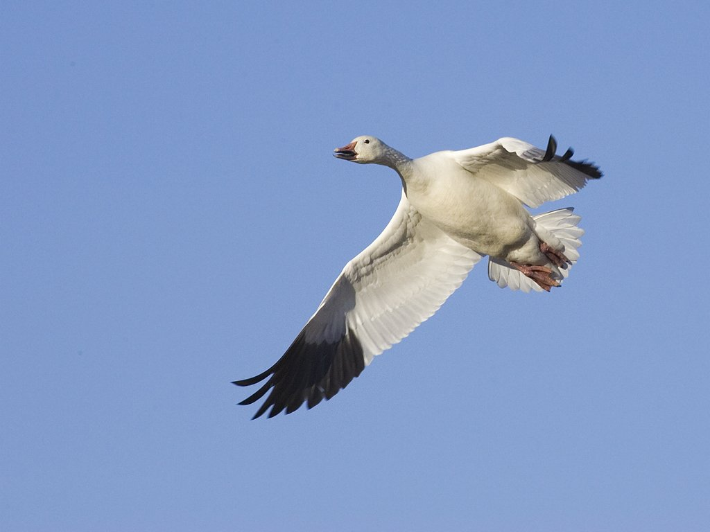 Snow goose, Bosque del Apache NWR.  Click for next photo.