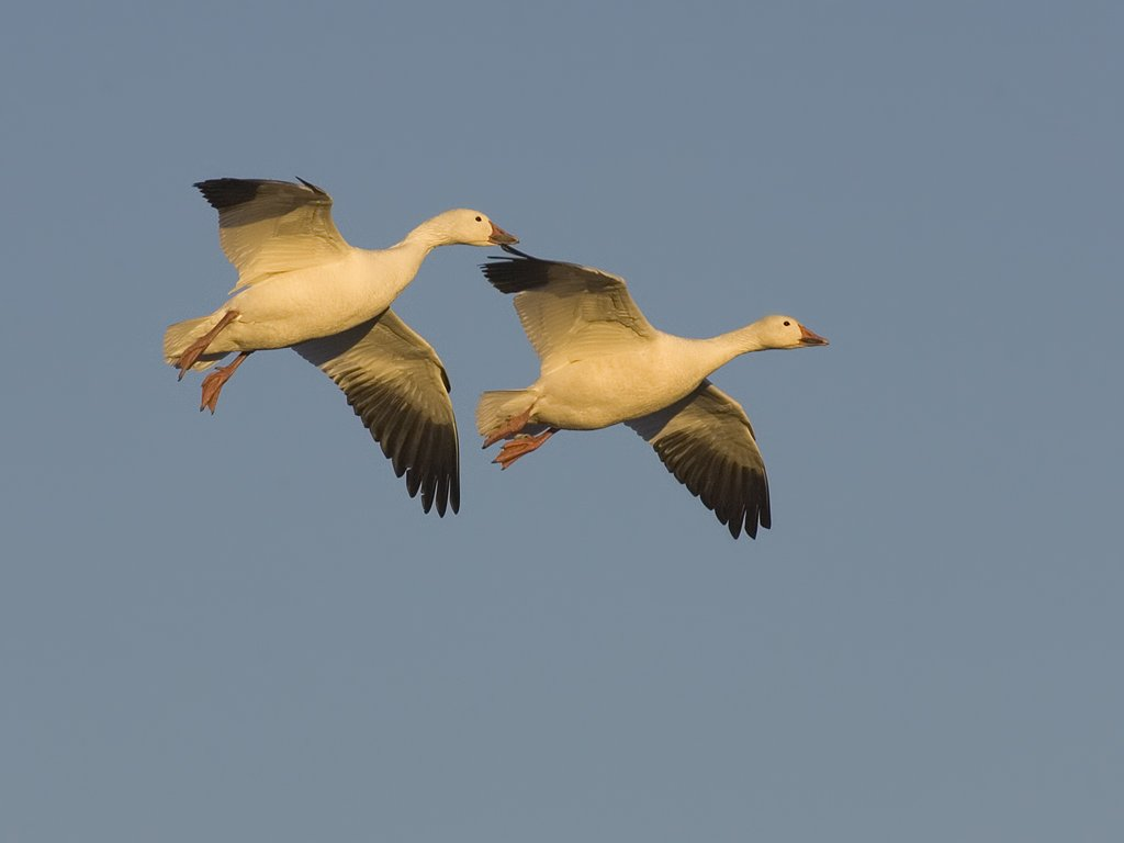 Snow geese, Bosque del Apache NWR.  Click for next photo.