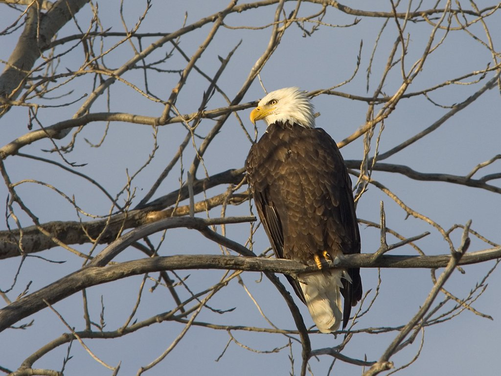 Bald Eagle, Squaw Creek NWR, Missouri, December 2005.  Click for next photo.