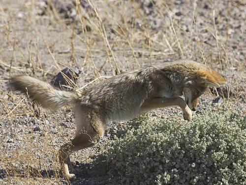 Coyote pouncing on something hiding in the bush, Death Valley