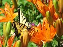 Butterfly on a lilly, Aurora, Colorado.