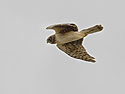 Northern Harrier, Bosque del Apache, March 2005.