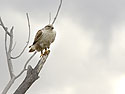 Rough-legged Hawk, Bosque del Apache, March 2005.