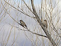 Tree full of flickers (two of four shown here), Bosque del Apache, March 2005.