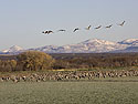 Cranes forage as geese pass overhead, Bosque del Apache, March 2005.