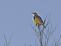 Meadowlark, Bosque del Apache, March 2005.