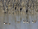 Cormorants watch as ducks swim by, Bosque del Apache, March 2005.