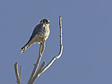 Kestrel, Bosque del Apache, March 2005.