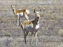 Pronghorns, New Mexico, March 2005.