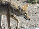 Coyote checks out some road kill in Death Valley, 2005.