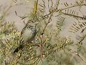 LBB (little brown bird), Death Valley National Park Visitor´s Center.