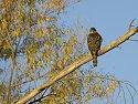 Hawk, Bosque del Apache NWR.