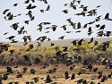 Blackbirds flock, Bosque del Apache NWR.