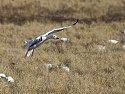 Snow goose, Bosque del Apache NWR.