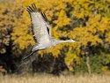 Sandhill crane, Bosque del Apache NWR.