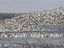 Snow Geese, Squaw Creek NWR, Missouri, December 2005.