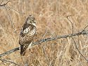 Red-tailed Hawk, Squaw Creek NWR, Missouri, December 2005.