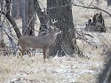 Deer, Squaw Creek NWR, Missouri, December 2005.