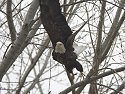 Bald Eagle, Squaw Creek NWR, Missouri, December 2005.