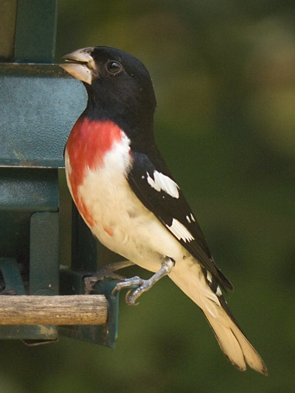 Rose-breasted Grosbeak (male) in my backyard, 2006.  Digiscoped, Televue 85, 40mm eyepiece, Canon G6 camera.  Click for next photo.