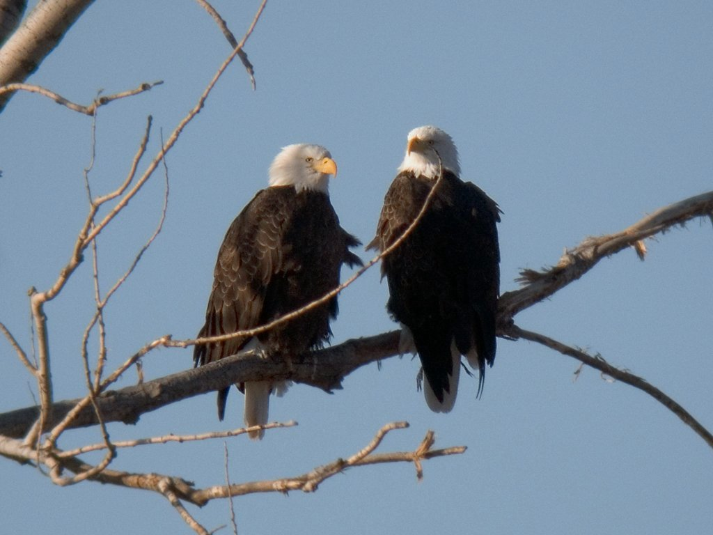Bald eagles (residents, mates?) near the active nest site, digiscoped, Squaw Creek National Wildlife Refuge, Missouri, December 2006.  Click for next photo.