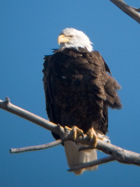 Bald eagle, digiscoped, Squaw Creek National Wildlife Refuge, Missouri, December 2006.  Click for next photo.