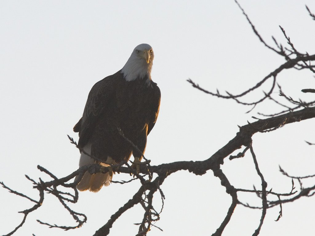 Bald Eagle along the Mississippi River, 2006.  Click for next photo.