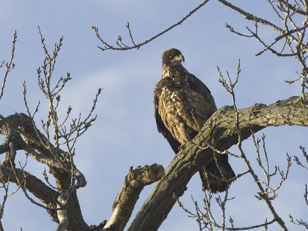 Juvenile Bald Eagle along the Mississippi River, 2006.  Click for next photo.