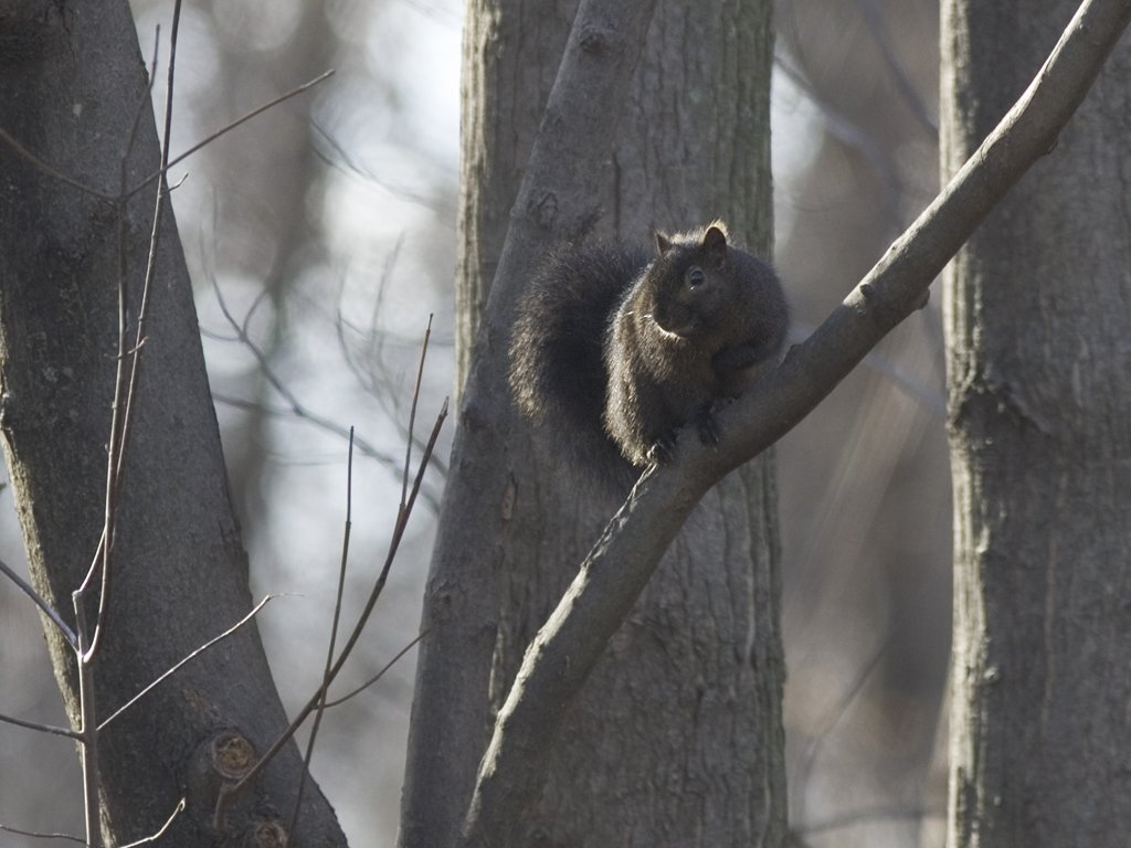 Black Squirrel, Credit Island, Davenport, Iowa, 2006.  Click for next photo.