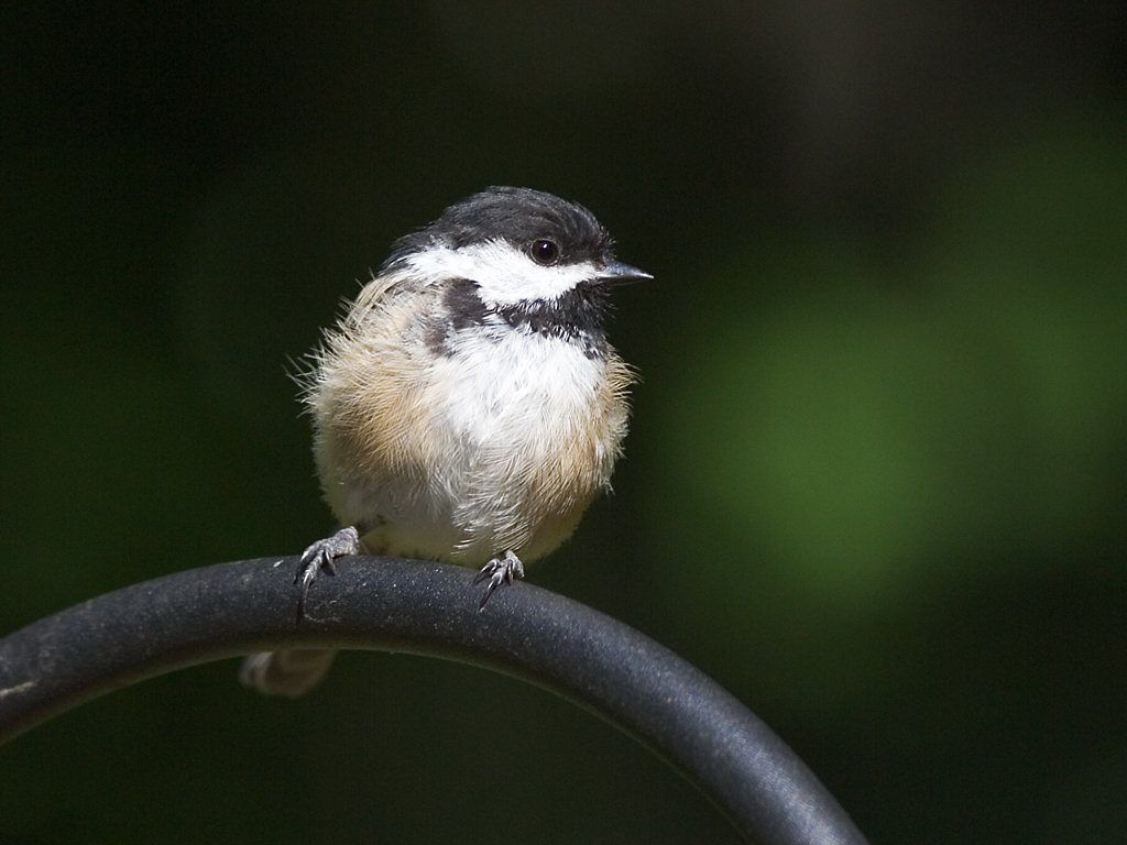 Backyard chickadee, 2006.  Click for next photo.