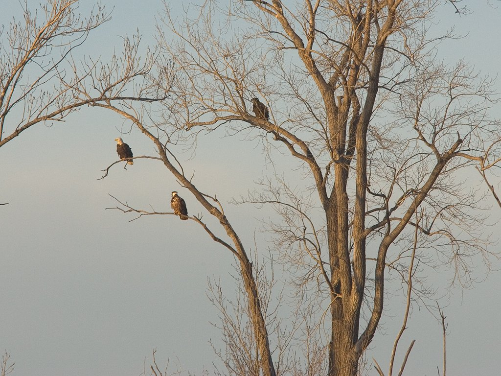 Bald eagles (residents) at sunset, Squaw Creek National Wildlife Refuge, Missouri, December 2006.  Click for next photo.