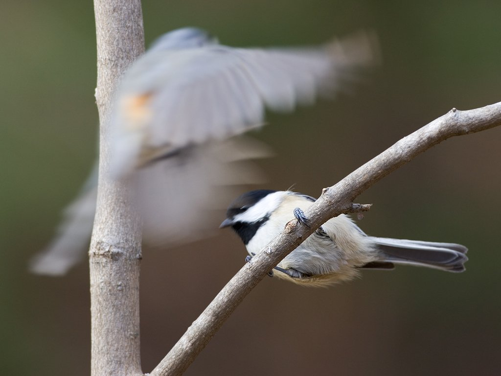 A shutter speed of 1/250 is quick enough to get a chickadee sitting on a branch, but not nearly fast enough to freeze a tufted titmouse thinking about landing on the same branch.  Click for next photo.