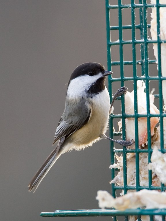 Chickadee at suet feeder, Daniel Webster Wildlife Sanctuary (Mass Audubon), Marshfield, Mass. 2004.  Click for next photo.