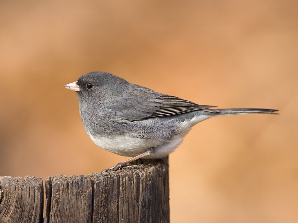 Dark-eyed Junco, slate-colored variety, 2006.  Click for next photo.