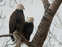 Bald eagles (residents, mates?), Squaw Creek National Wildlife Refuge, Missouri, December 2006. Taken through a telescope (i.e. digiscoped).  Compare to previous image, which was taken with a DSLR.