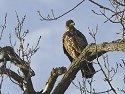 Juvenile Bald Eagle along the Mississippi River, 2006.