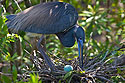 Heron and egg, St. Augustine Alligator Farm, April 2006.