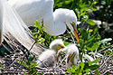 Great Egret and chicks, St. Augustine Alligator Farm, April 2006.