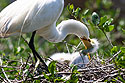 Egret chick gets insistent, St. Augustine Alligator Farm, April 2006.