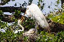 Egret feeding chicks, St. Augustine Alligator Farm, April 2006.